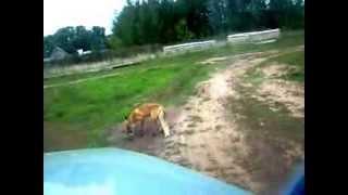 Нападение бешеной лисицы Эпизод 3 Рыбалка в Удмуртии