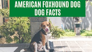 AMERICAN FOXHOUND DOG  Top Dog Facts About the American FOXHOUND