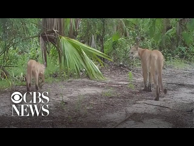 Endangered Florida panthers are struggling to walk, and wildlife officials don't know why