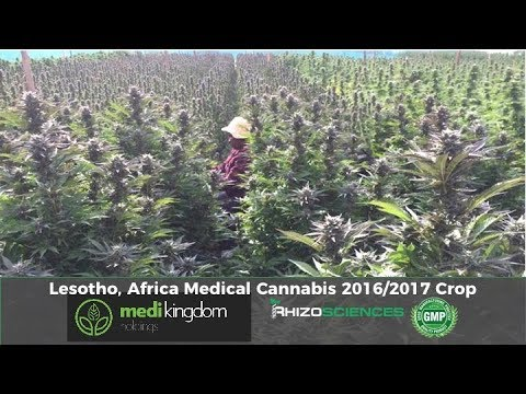 African Medical Cannabis - Medi Kingdom, Lesotho, 2017 R&D Grow