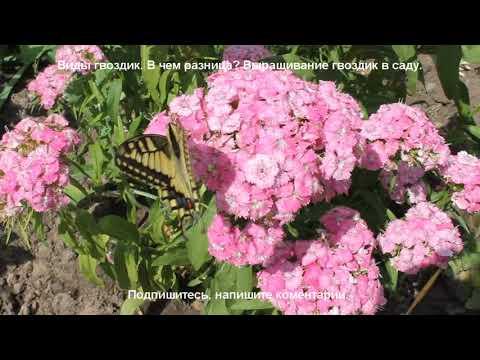 Гвоздика китайская, турецкая, гренадин - в чем разница? Выращивание гвоздик в саду.