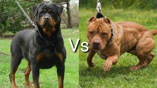 Ротвейлер против Питбуля! КТО СИЛЬНЕЕ? Rottweiler VS Pitbull! WHO IS STRONGER?
