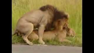 Брачный сезон у львов-приколы с животными
