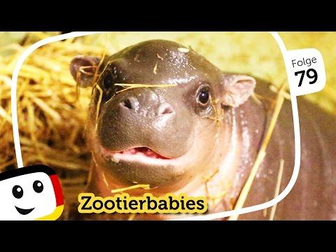 """sandmännchen:-zootierbabys-""""paul,-das-zwergflusspferdbaby""""-+-2-weitere-folgen---sandmann-(rbb-media)"""