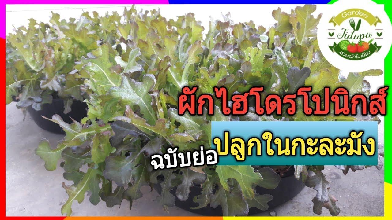 ปลูกผักสลัด ||ผักไฮโดรโปนิกส์ : ปลูกในกะละมัง (ฉบับย่อ), grow vegetable at home. ep.34