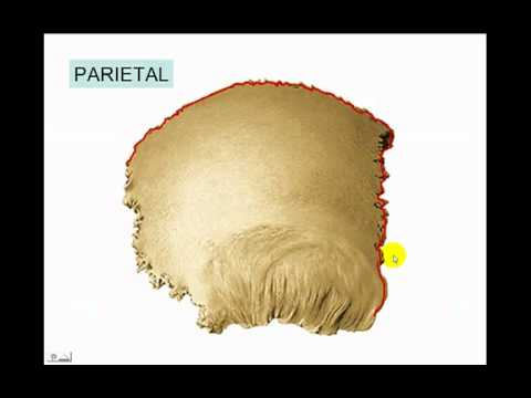 osteología del craneo parte n°7 hueso parietal