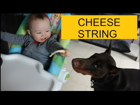 Dobertot: Baby and Doberman share a cheesestring! #dog #baby