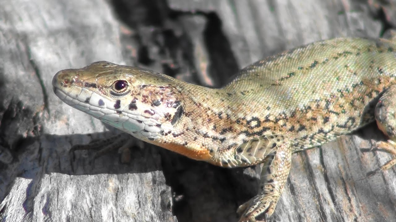 Lagartija ibérica + (Podarcis hispanica, Iberian Wall Lizard ...