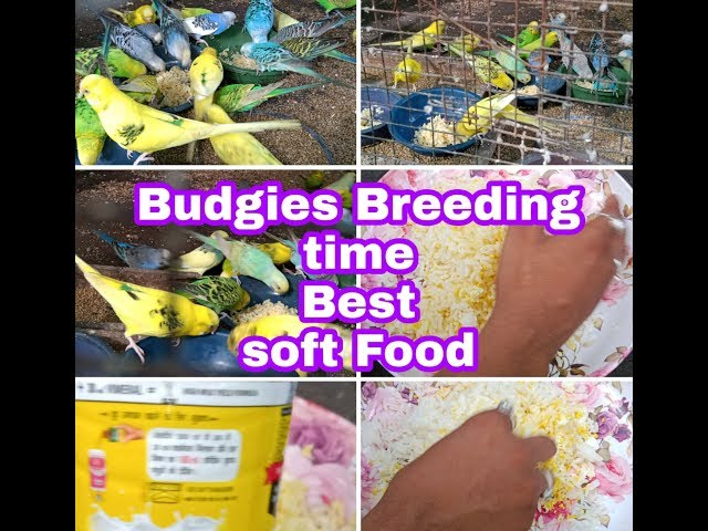 soft food for budgies video, soft food for budgies clip