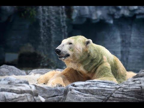 World mourns death of first tropical polar bear