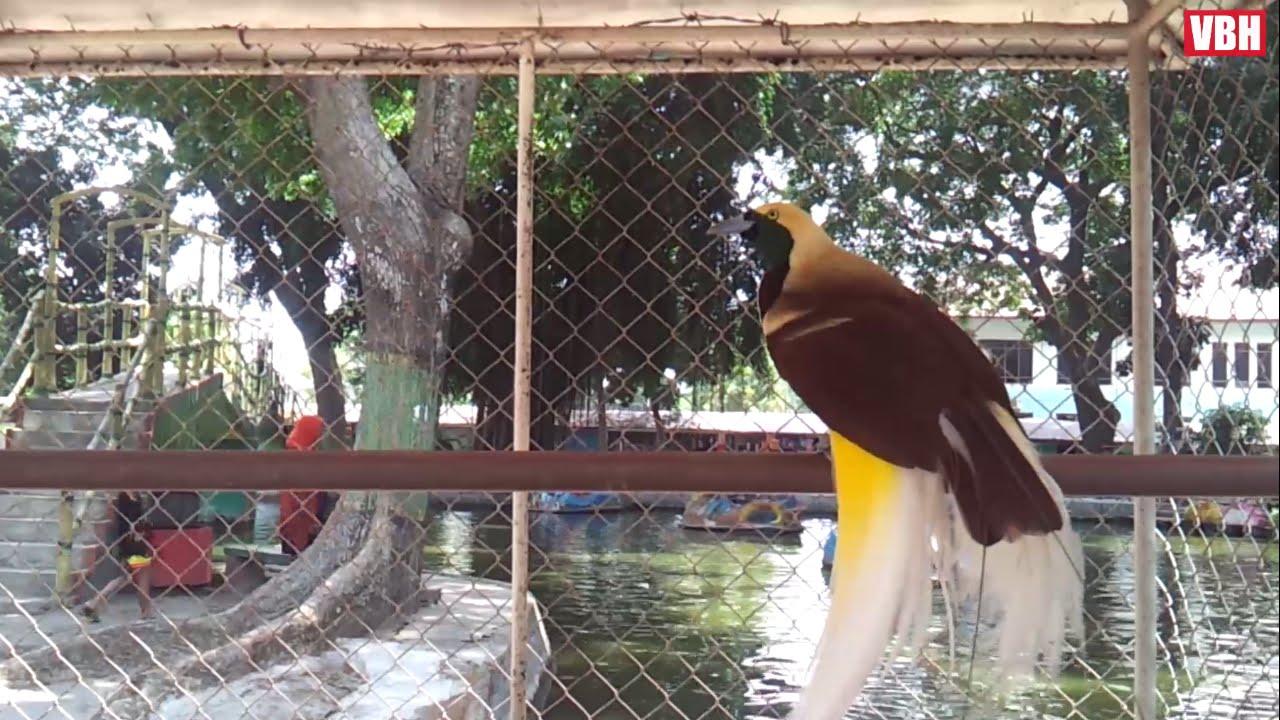 9700 Gambar Burung Cendrawasih Kuning Kecil HD