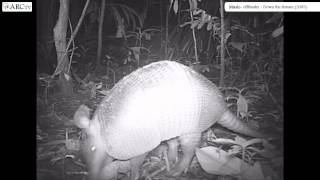 Camera Trap Tv (cttv) Series 1: Banded Armadillo