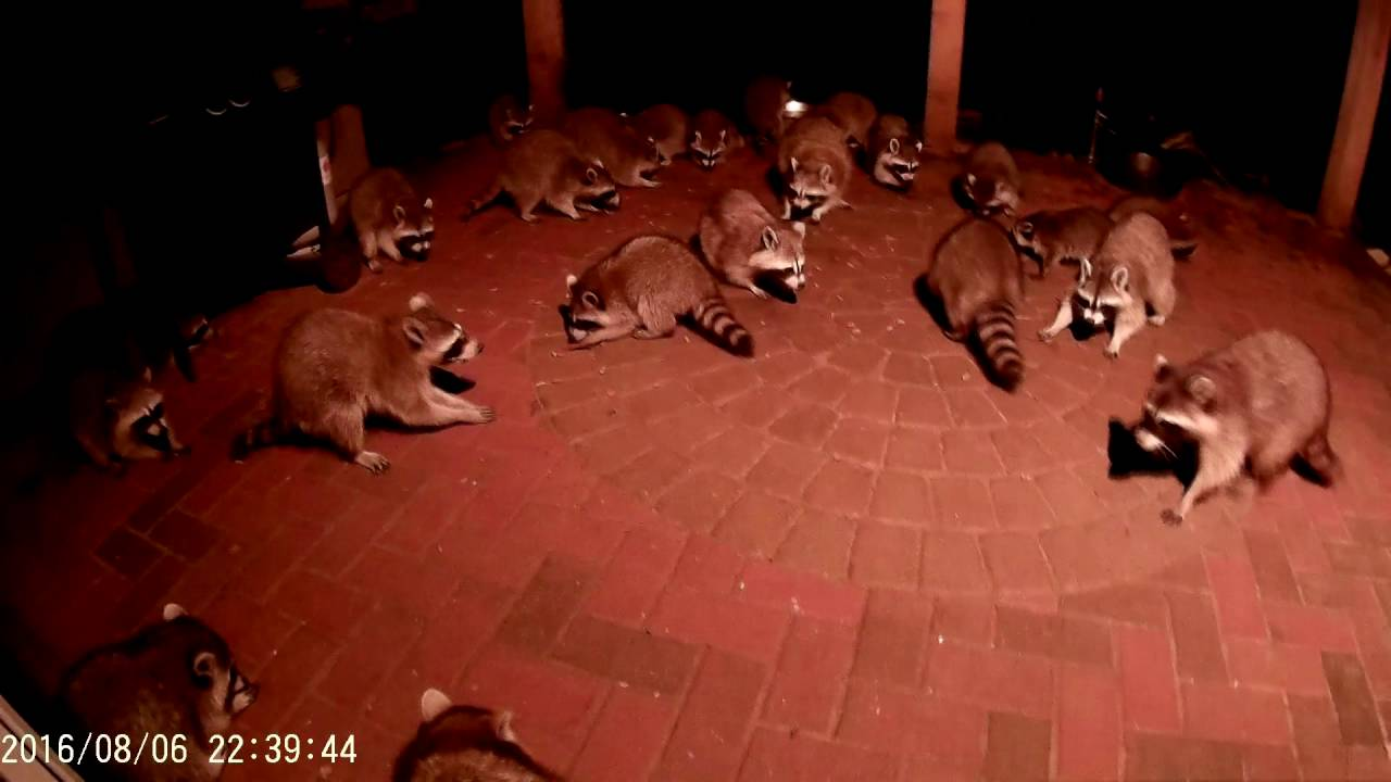 Raccoons Eating Cats Food