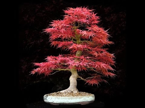 Acer bonsai(Acer palmatum) [Mr Plash]