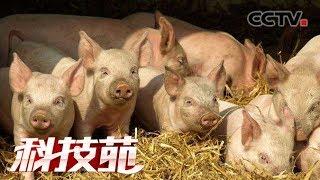 《科技苑》 20190624 喝碘液 放玩具 猪场防控有新招| CCTV农业