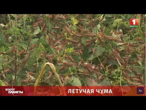 Летучая чума-2020: пустынная саранча уничтожила урожаи в Сомали, Эфиопии и Кении. Вокруг планеты