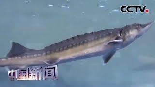 [中国新闻] 湖北宜昌:万尾中华鲟放归长江 | CCTV中文国际