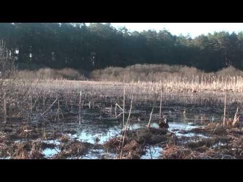 Звуки весенней охоты  Подсадные утки А Лохматова  Часть 2