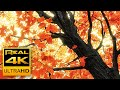 4K Stunning Fall Colors & Soothing Instrumental Music 🍁🍂 Beautiful Autumn Leaves - 4K UHD Nature