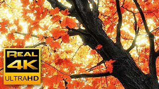 Beautiful Autumn Leaves Colors & Soothing Instrumental Music 🍁🍂 Fall Scenery 4K UHD Nature