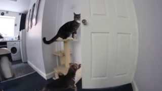 Кот открывает  собаке двери