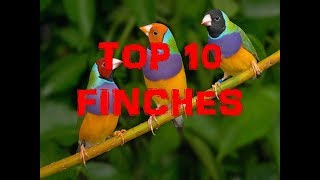 TOP 10 FINCHES