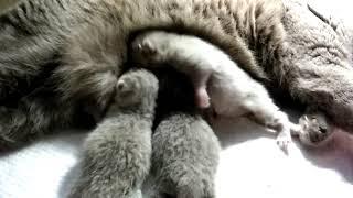 Смешные маленькие шотландские котята