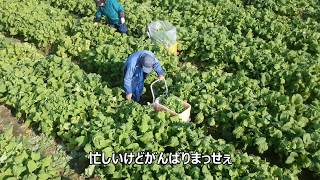 菜の花栽培 2019/12