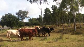Border Collie Working Cattle Dog Dixi 11 Mths
