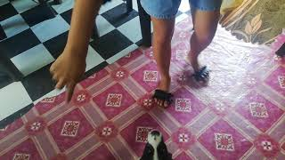 #doglovers Lava&Tobby Teaching Basic Dog Tricks