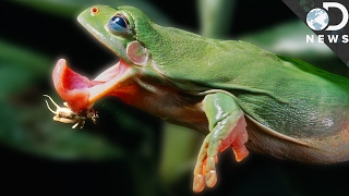 Why Frog Tongues Are So Fast And Sticky