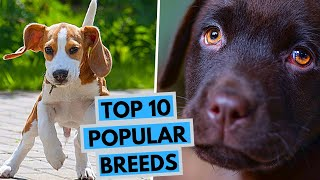 TOP 10 Most Popular Dog Breeds in the World