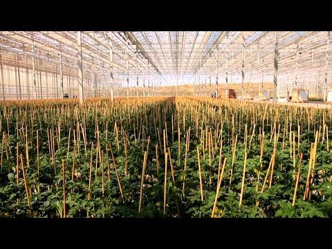 Cannabis Opportunity in South Africa - LGC Capital