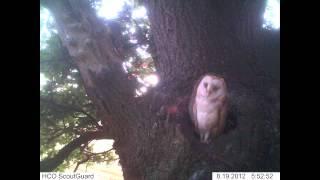 Barn Owl - Trail Camera Photo's