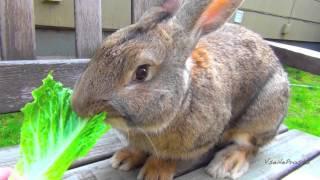 Кормление огромного кролика салатом-латуком