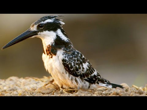 Why Hovering Is A Key Skill For The Pied Kingfisher
