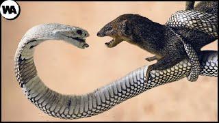 Даже Королевская Кобра Боится Этого Убийцы Змей
