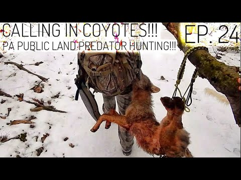 CALLING IN COYOTES!! - PA Public Land Predator Hunting S.1 Ep. 24
