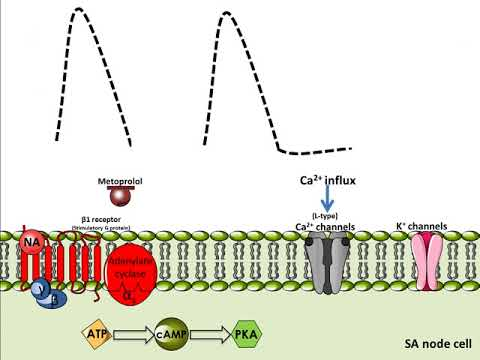Metoprolol - Mechanism Of Action