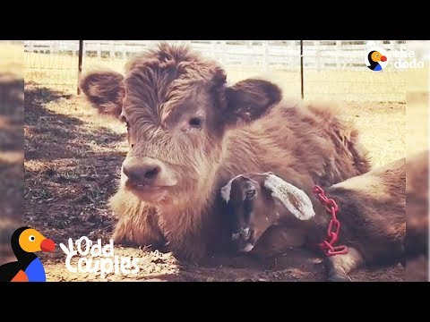 Fluffy Cow Is Obsessed With This Little Goat - BUCKLEY & RALPHY | The Dodo Odd Couples