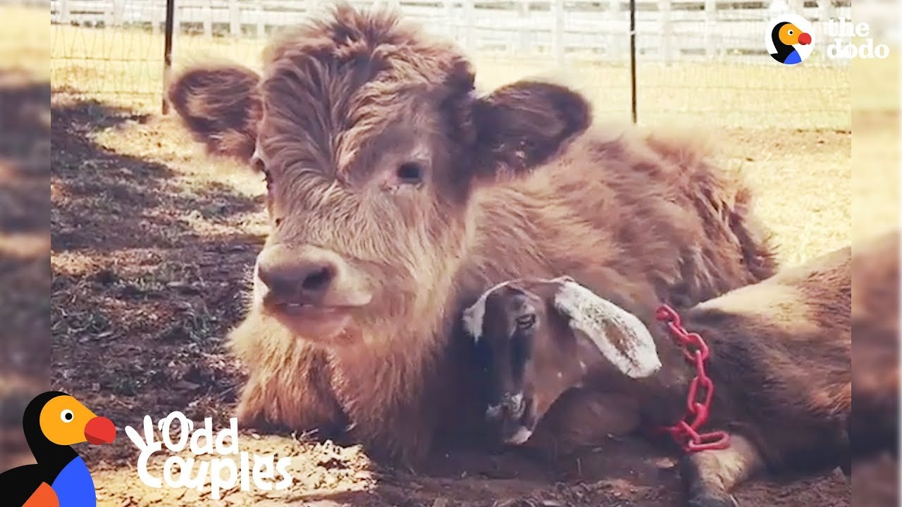 Animal Odd Couples Youtube fluffy cow is obsessed with this little goat - buckley & ralphy | the dodo  odd couples