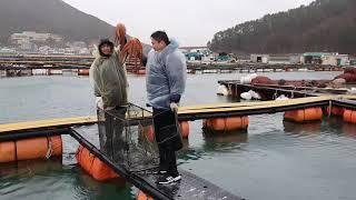 강풍과 폭우속에 도시어부 문어잡이 체험