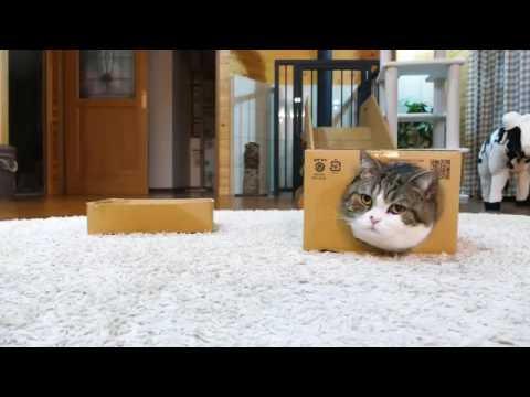 箱を愛しすぎなねこ。-Because Maru loves the box too much,-