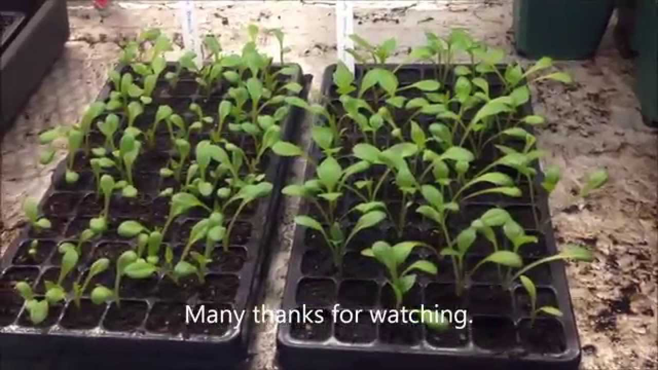 Dahlia Bedding Plants From Seed