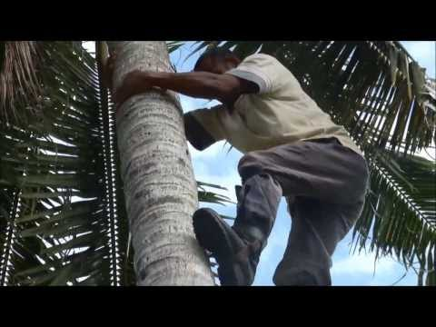 Coconut palm climbing with foot spikes in Fiji