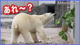 気づくの早い!環境の変化と飼育員さん ホッキョクグマ リラの鋭さ Polar Bear