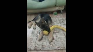 смертельный бой собаки и змеи