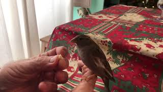 Do the sparrows bark? 120fps video shoot