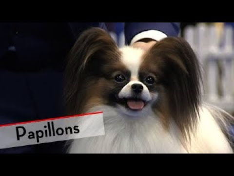 Papillons - Bests of Breed