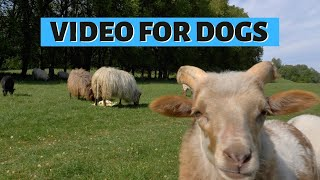 DOG TV SHEEP | Relaxing Video For Dogs: Baaing Sheeps & Lambs